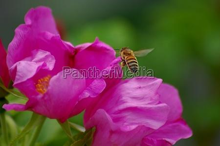 honigbiene apis mellifera