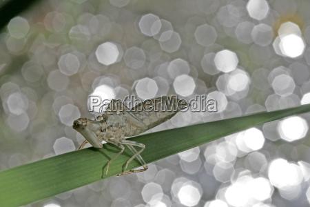 libellen larve schlupfhaut