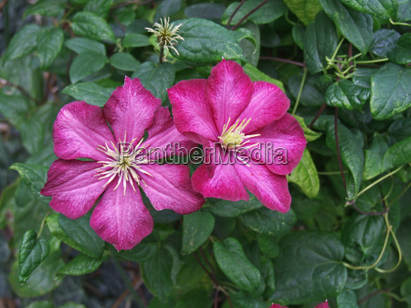 the clematis