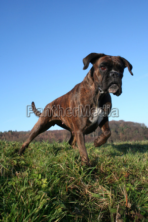 boxer angespannt in wintersonne