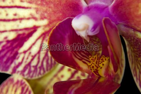 das innenleben einer phaleonopsis