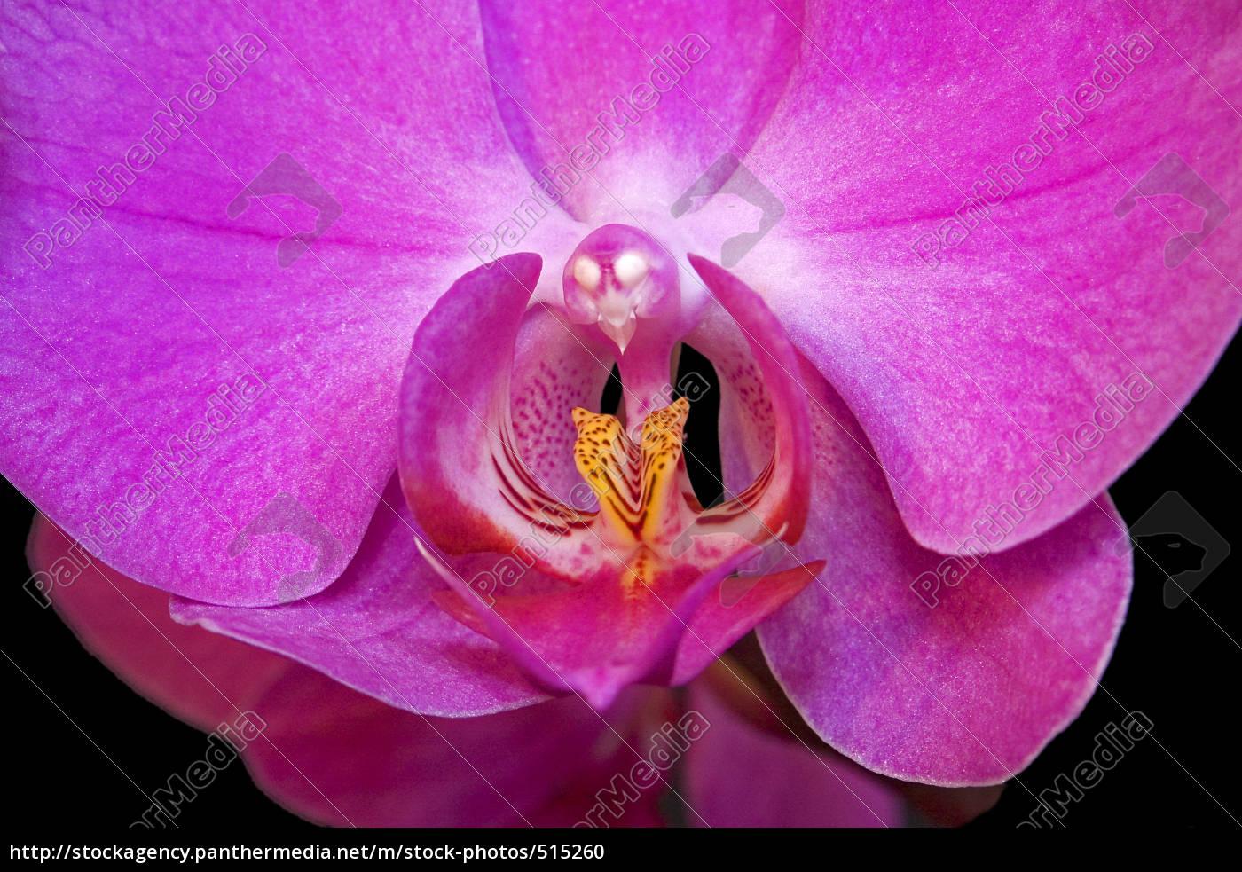 erotische, phaleonopsis - 515260