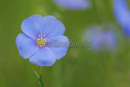 ein blaues bluemchen
