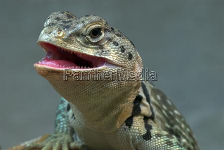 desert wasteland reptile teeth saurian tongue