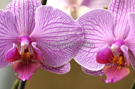 orchideenzwillinge nachtfalterorchidee