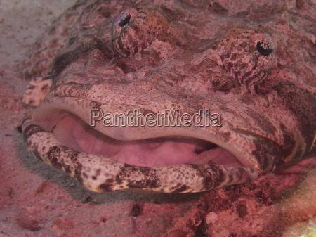 krokodilsfisch smile