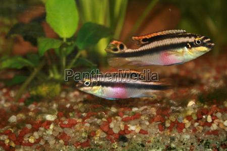 aquarium fish black swarthy jetblack deep