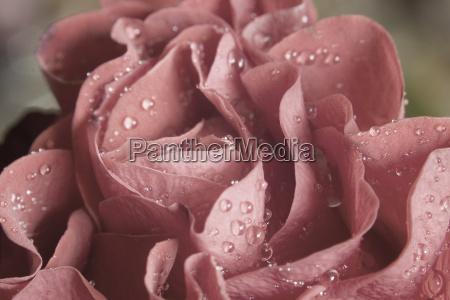 wassertropfen auf rose