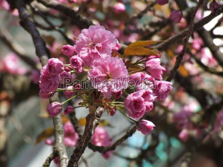 rosa bluete