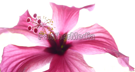 hibiscus bloom very close in pink