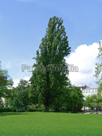 the poplar in the park