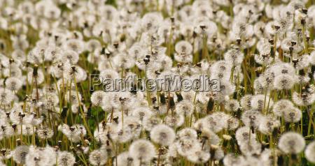 dandelions sea
