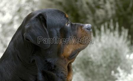 der boese kampfhund