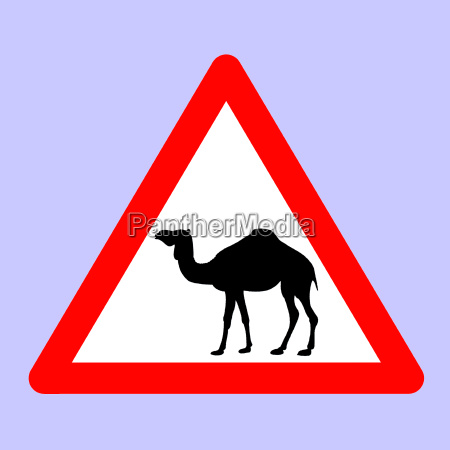 camels ahead