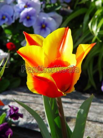 tulpenbluete insel mainau