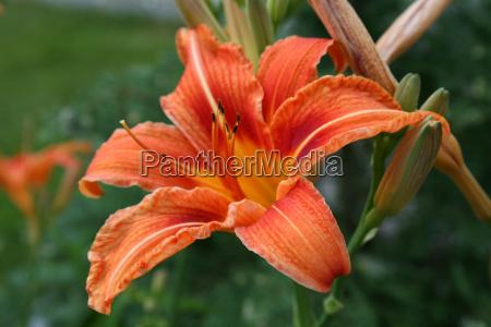 garden lily
