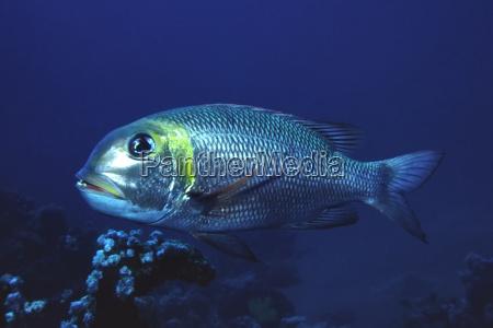 hugo der silberfisch
