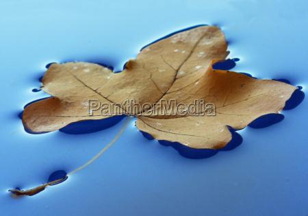 schwimmendes herbstblatt