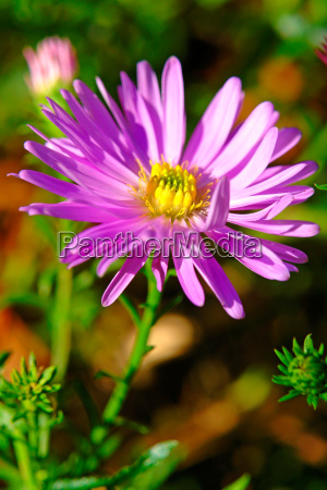 lime aster aster amellus l