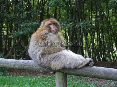 trunk monkey mammals seat apes primates