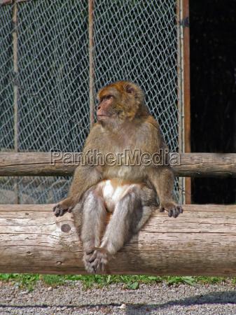 trunk monkey mammals apes primates berber