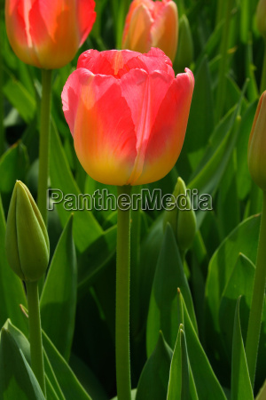 tulpe rosa