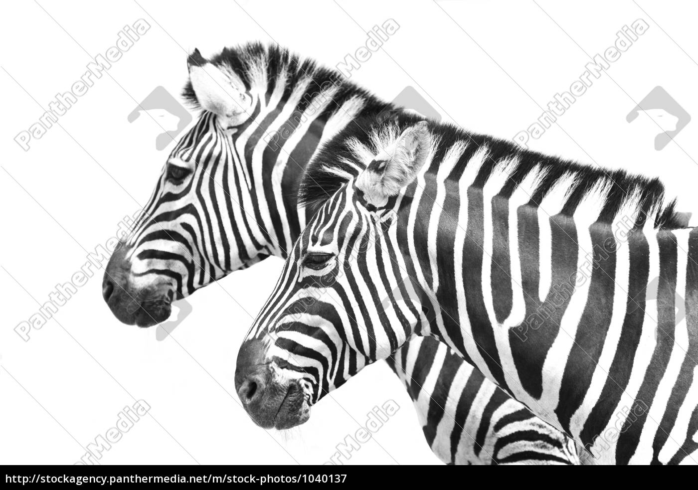 zebrastreifen - 1040137