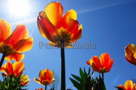 tulips park