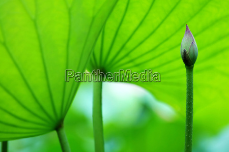 die bluete der lotus und blaetter