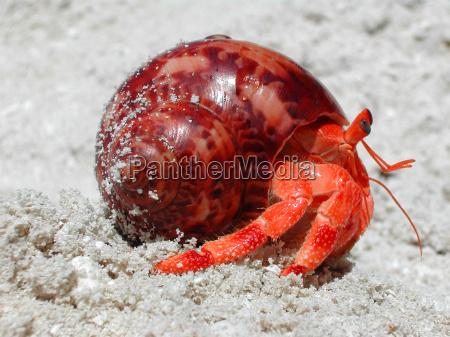 red hermit crab 1