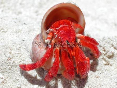 red hermit crab 2