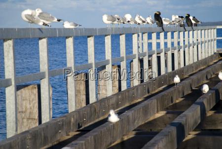 baltic gull