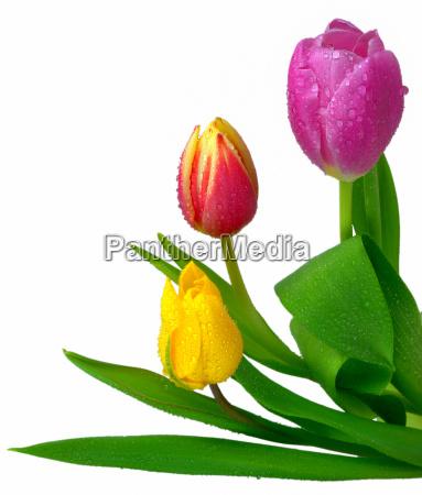 three fresh tulips