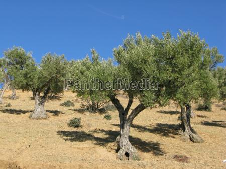 olivenbaueme in marokko