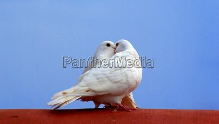 uccello uccelli caucasico bianco piccione amare