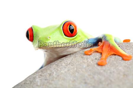 frosch auf einem felsen isoliert