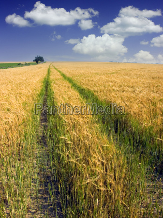 yellow ripe field and green way