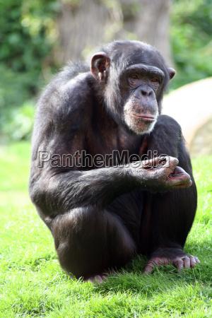 prinzip schimpansie