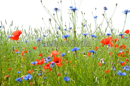 sommerwiese 1