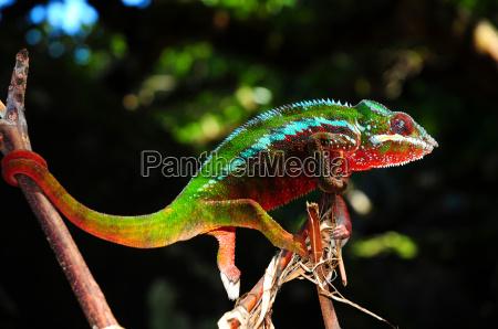 pantherchameleon