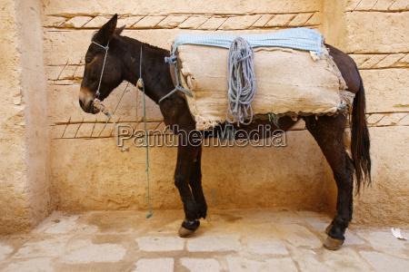 esel in marokko
