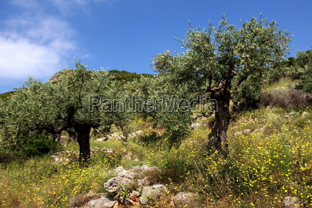 olivenbaeume bei kalamata