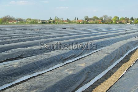 spargelfeld asparagus field 06
