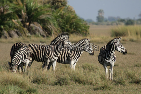 steppenzebras im okavango delta botswana
