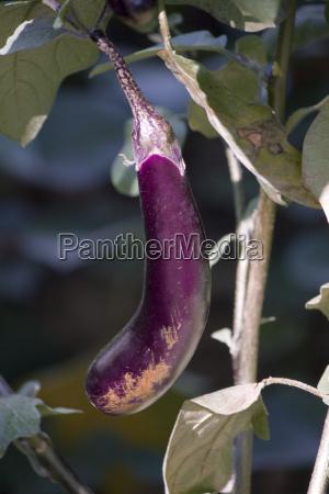 aubergine im garten