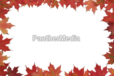 rotes ahornblatt plakat oder karte