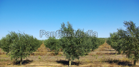 olives in the portuguese field