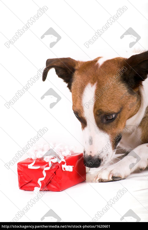 rot tier winter portrait freude weihnachten spaß hund - Lizenzfreies ...