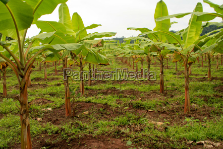 banana plantation in south america