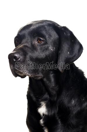 schwarzer labradormischling